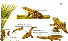 Animales vertebrados que sufren metamorfosis